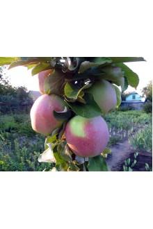 Яблоня колоновидная 15 - 9
