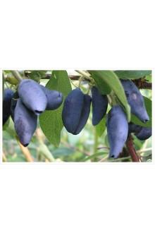 Жимолость «Голубое Веретено»
